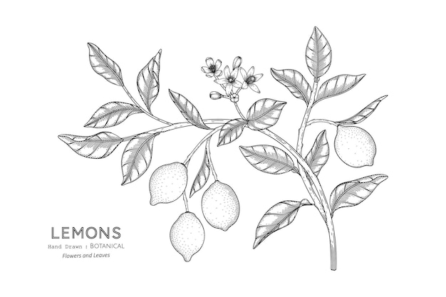 Lemons fruit hand drawn botanical illustration with line art.