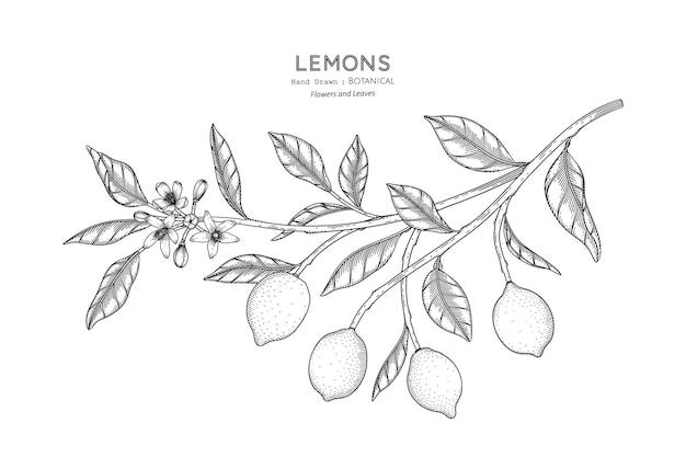레몬 과일 손으로 그린 식물 삽화와 라인 아트.