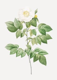 ビンテージ咲くleschenaultのバラのベクトル