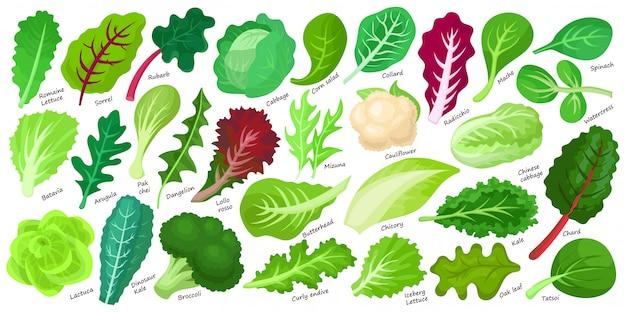 상 추와 샐러드 만화 아이콘 집합입니다. 만화 상 추의 그림 잎을 설정합니다. 격리 된 그림 컬렉션 샐러드 아이콘의 잎입니다.