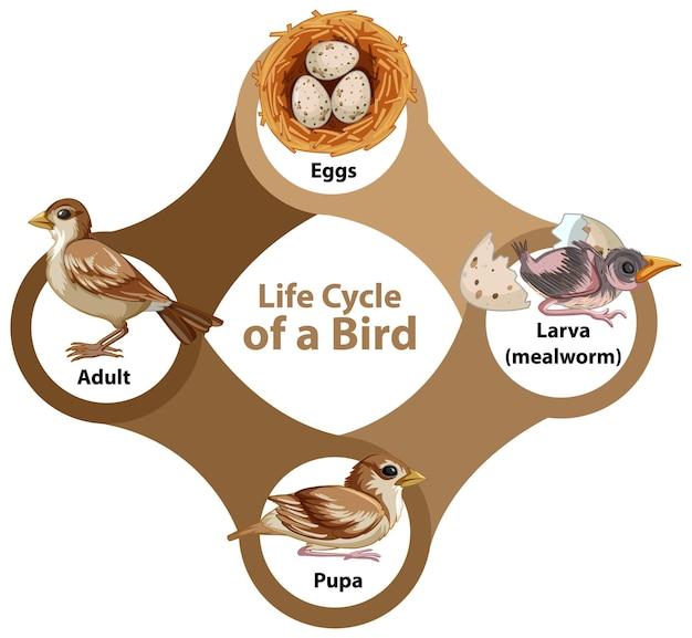 Life cycle of a bird diagram