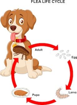 Life cycle of flea