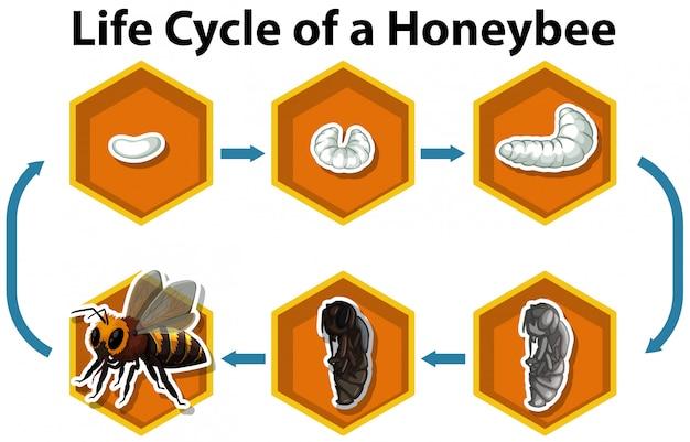 ミツバチのライフサイクル
