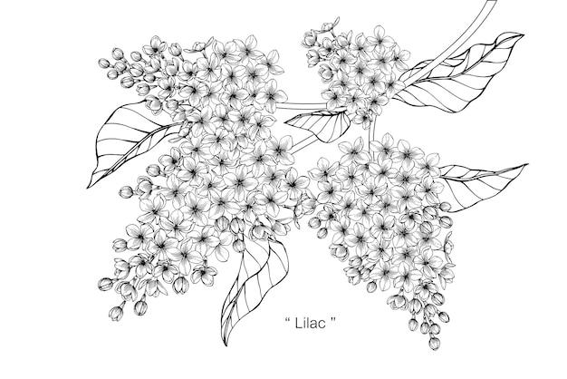 Lilac flower drawing illustration