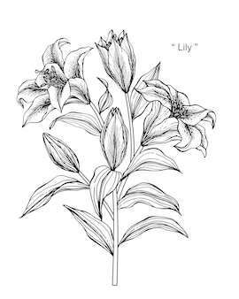 Lily flower drawing illustration