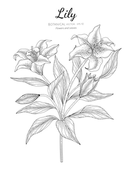 Lily flower and leaf botanical hand drawn illustration.