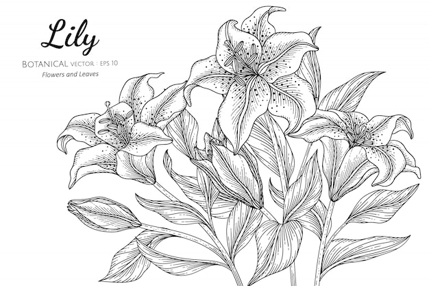 Lily flower and leaf hand drawn botanical illustration with line art on white