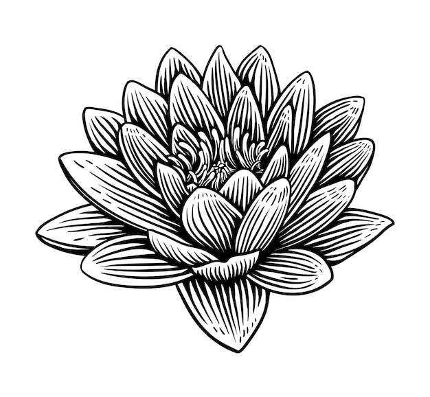 Lily lotus water flower illustration hand drawn