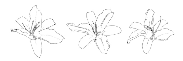 Lily onion-bearing linear doodle sketch set