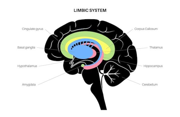 변연계 개념과 인간의 뇌 해부학. 대뇌 피질과 소뇌 벡터 일러스트 레이 션