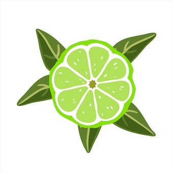 Lime slice with leaves on a white background. vector illustration