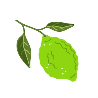 Lime with leaves on a white background. vector illustration