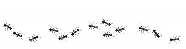 A line of worker ants marching in search of food