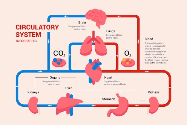Linear circulatory system graphic