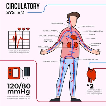 Sistema circolatorio lineare infografica