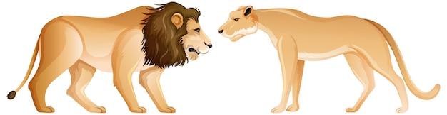 白い背景の上の立っている位置にライオンと雌ライオン