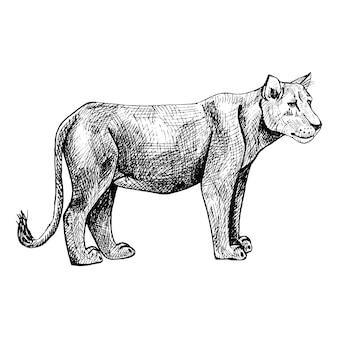 ライオネスは白い背景で隔離。サバンナのグラフィック捕食者を彫刻スタイルでスケッチします。レトロな黒と白の図面をデザインします。ベクトルイラスト。