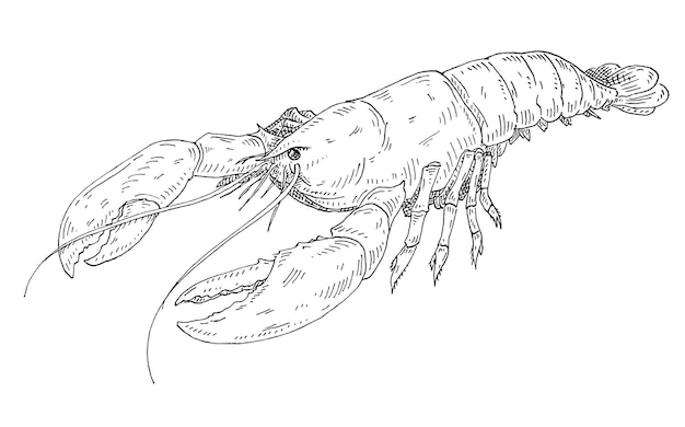 Lobster vintage hatching vector monochrome black illustration isolated on white background