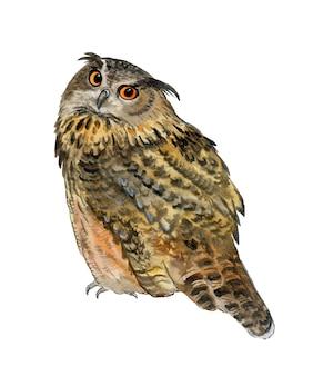 Long-eared owl. watercolor