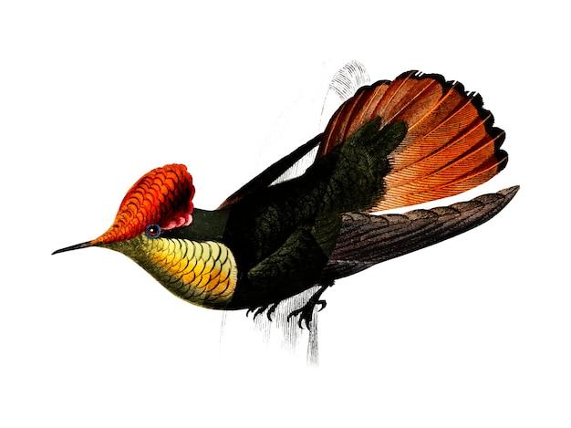 タフテッドコケット(lophornis ornatus)