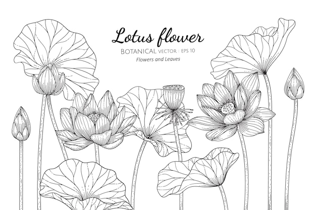 연꽃과 잎 식물 손으로 그린 그림.