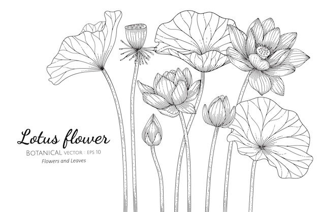 로터스 꽃과 잎 손으로 흰색 배경에 라인 아트와 식물 그림을 그려.