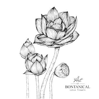 Lotus flower drawings.