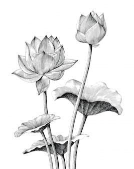 Lotus flower hand drawing vintage engraving style