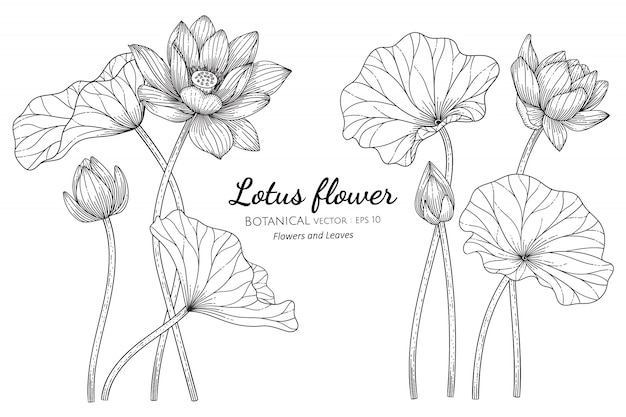 Lotus flower and leaf hand drawn botanical illustration with line art on white