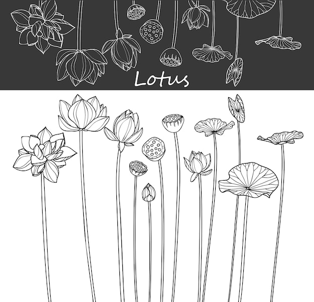 Lotus leaf and flower drawings.