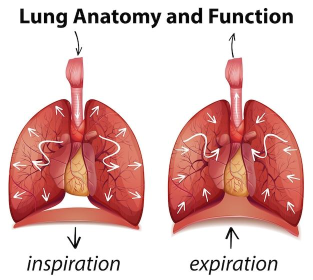 肺の解剖学と教育のための機能