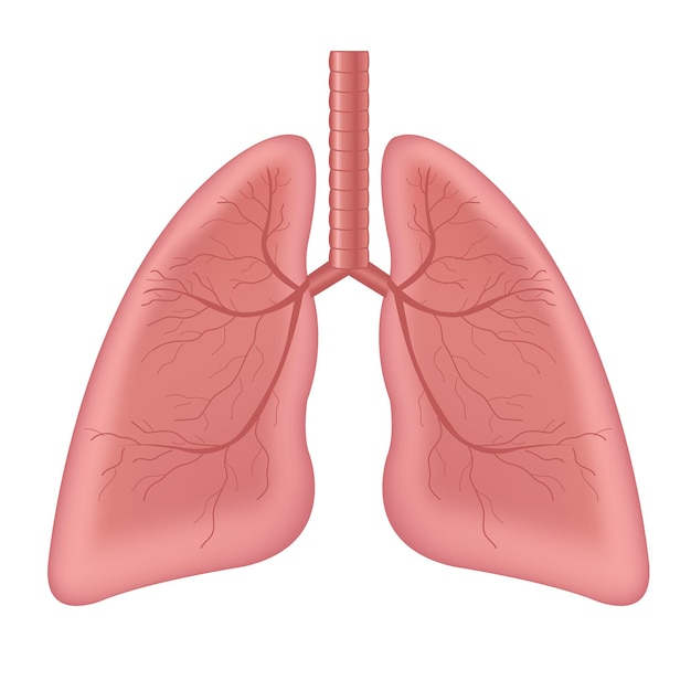 흰색 배경에 고립 된 폐 인간의 내부 장기