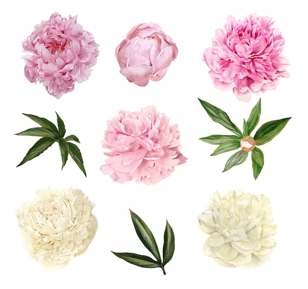 Lush peonies flowers, leaves and buds, floral set