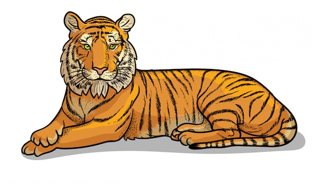 Lying tiger isolated in cartoon style. educational zoology illustration, coloring book picture.