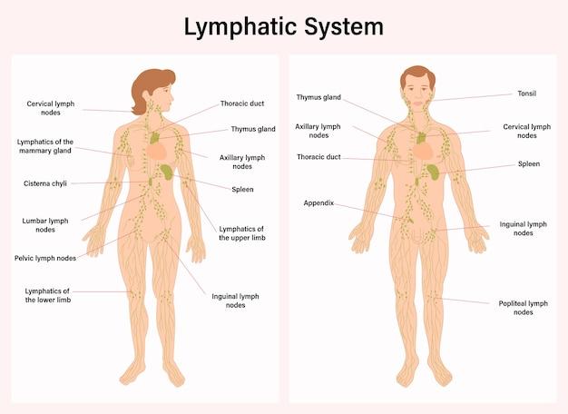 Lymphatic system, human anatomy