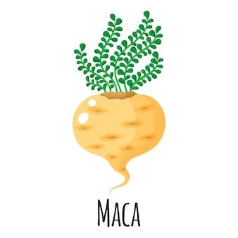 템플릿 농부 시장 디자인, 라벨 및 포장을 위한 마카 슈퍼푸드 루트. 천연 에너지 단백질 유기농 식품. 벡터 만화 격리 된 그림입니다.