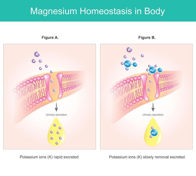 体内のマグネシウムホメオスタシス。イラストは、細胞内のマグネシウム欠乏レベルを説明しています。