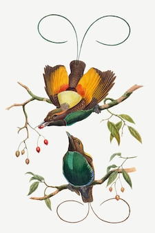 Magnificent bird of paradise vector animal art print, remixed from artworks by john gould and william matthew hart