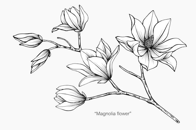 Magnolia flower drawing illustration.