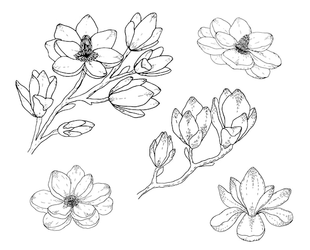 Magnolia flower drawings. black and white with line art. hand drawn botanical illustrations.