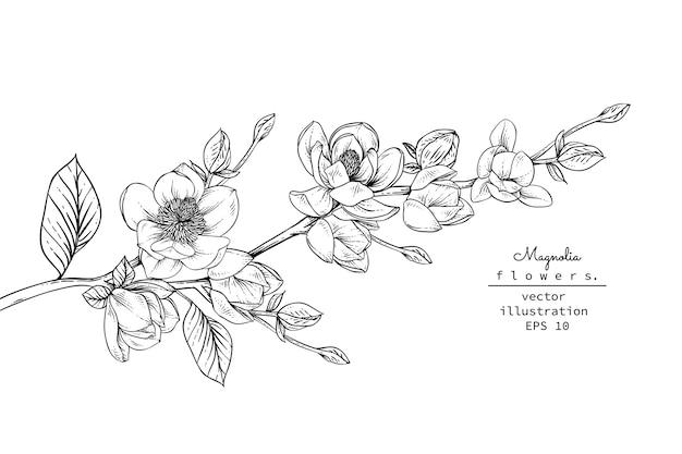 Magnolia flower drawings.