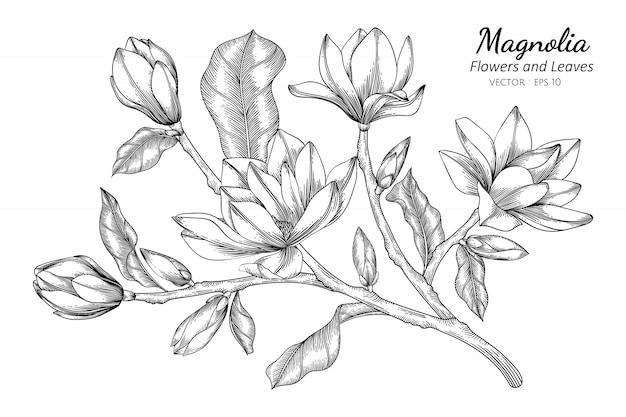 Magnolia flower and leaf drawing illustration