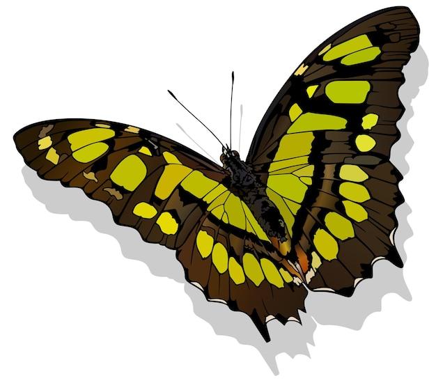 Малахитовая бабочка siproeta stelenes