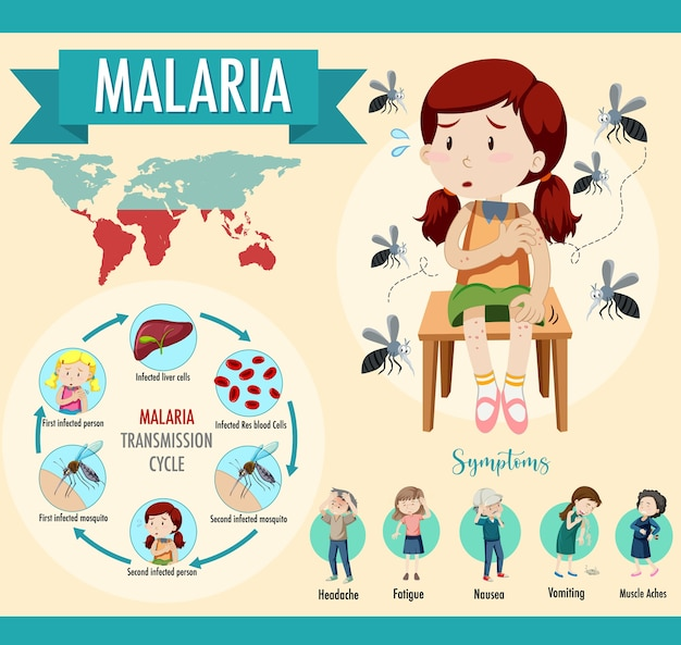 Malaria transmission cycle and symptom information infographic