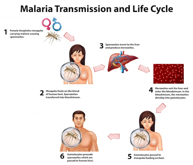 Malaria transmission and life cycle