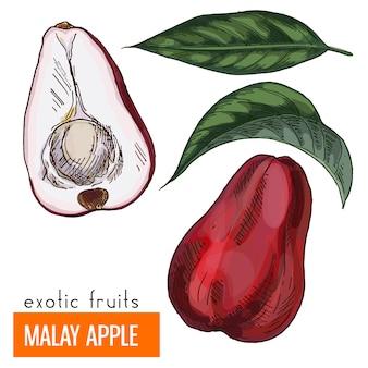 Malay apple. color vector illustration.