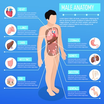 Male anatomy isometric illustration with infographic model of human body and description of internal organs