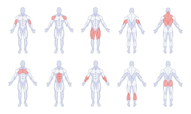 Male anatomy with training body parts figure standing front and back