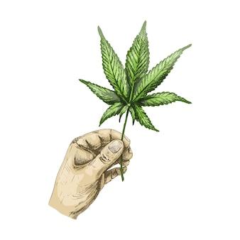 마리화나 잎을 들고 남성 손입니다. 벡터 색상 빈티지 해칭 그림 흰색 배경에 고립. 대마초 상점이 있는 레이블, 포스터, 웹용