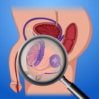 Анатомическая репродуктивная система